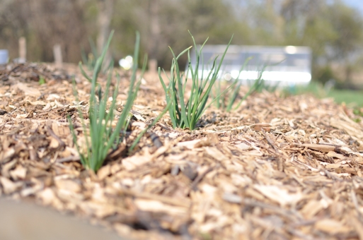 April Chives