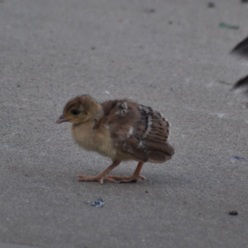 Peachick yet to be named