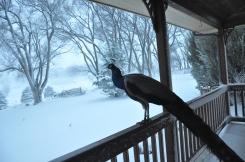 Peacocks in winter