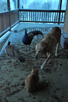 Dogs, cats and peacocks can live harmoniously together- and do- at our place