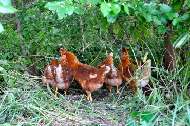 Chickens flocked to mulberry trees to glean what we missed